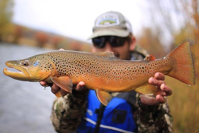 @andrew_gerrie shows off  Brown Trout from the Blue River. • • #backbonemedia #flyfishing #builtforthewild @costasunglasses @fishpondusa #colorado #trout