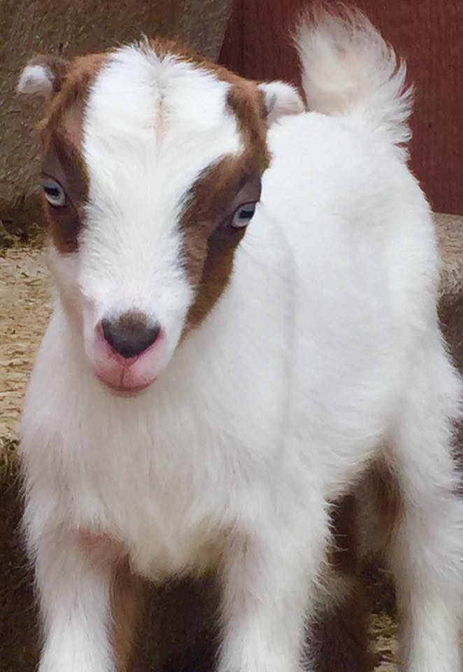 Dixie - Holly x Felix mini Lamancha doeling (retained)