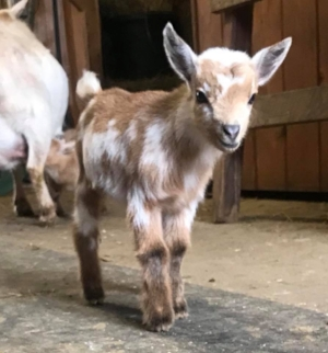 Mistyhighland Farm RNRuby  DOB 3/29/18  Gillispie's E Emma x Twinkle Farm Rain Beau  one of our Nigerian Dwarf keeprs for 2018 out of a super nice doe with very nice mammary....we love her coloring too!