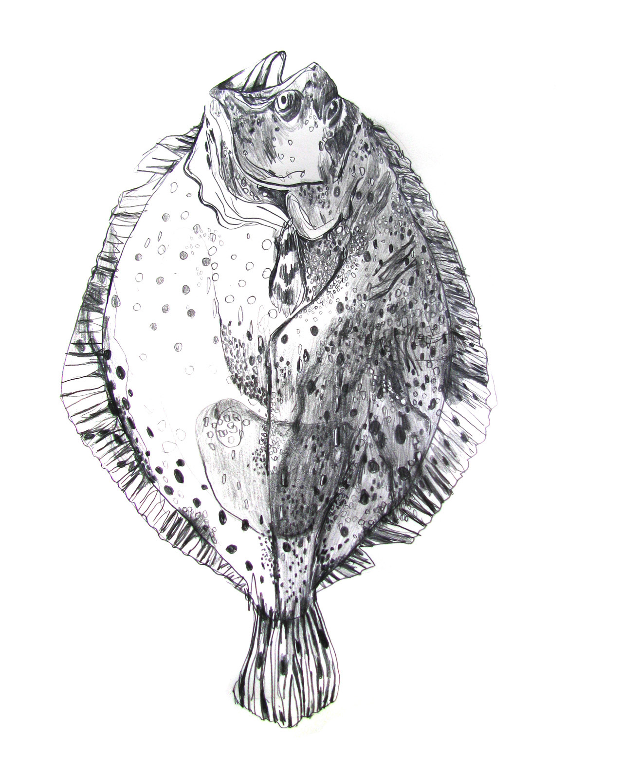 A Turbot (artists's own).