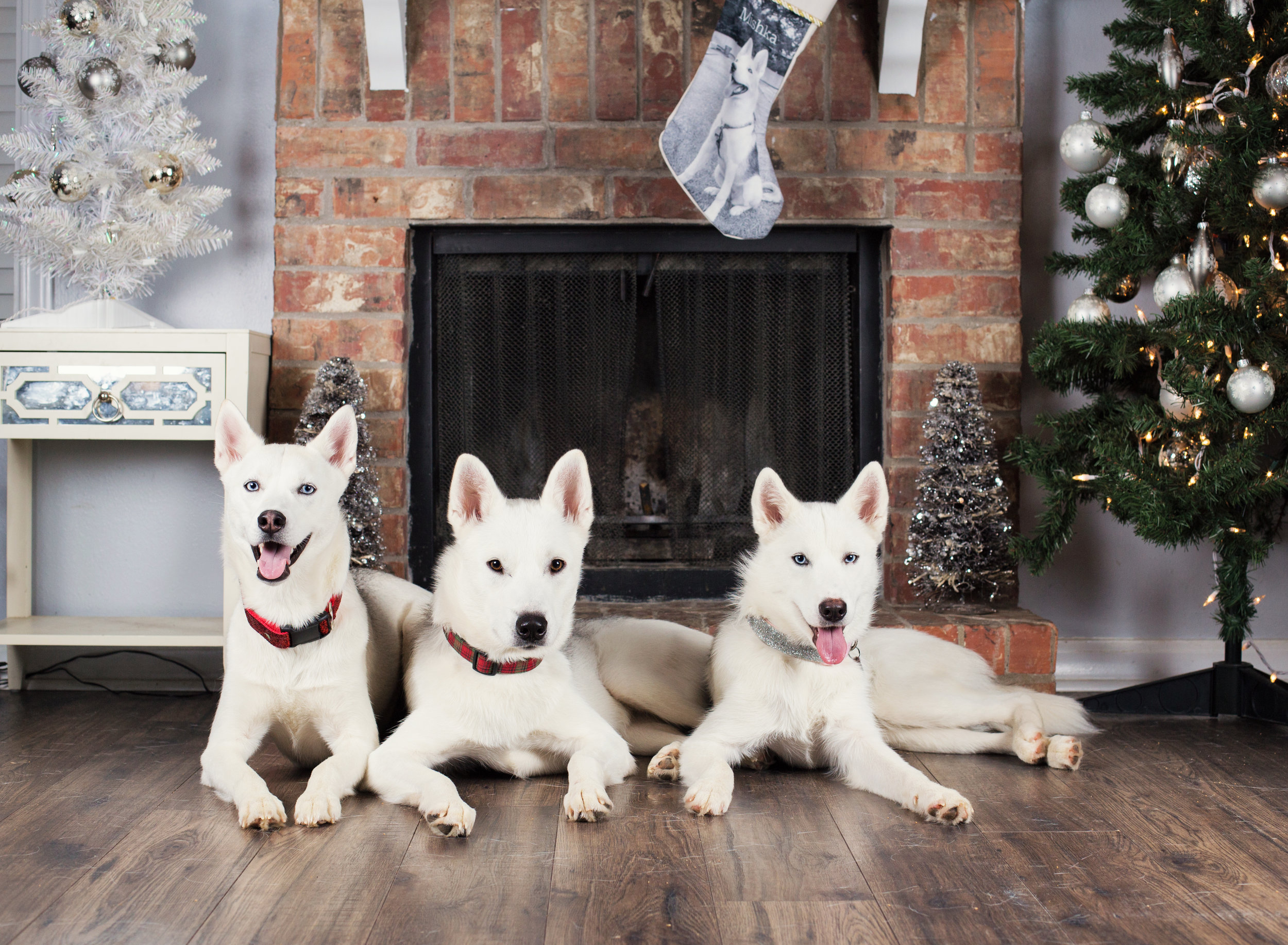 Dog Christmas Portraits