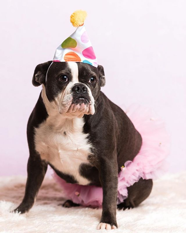 """""""I can't, my dog's birthday is today...""""⠀⠀ ⠀⠀ I love this sweet girl so much! She was my first pet photography client and I've been honored to photograph her regularly since.⠀⠀ @jovi_thefrenglishbulldog ⠀⠀ #dogbirthday #bulldogsofinstagram #tutu"""