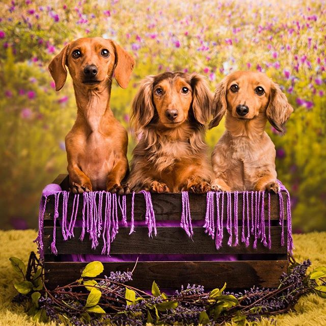 Is there anything cuter than a crate full of weenies? I loved having these sweeties in the studio last week!
