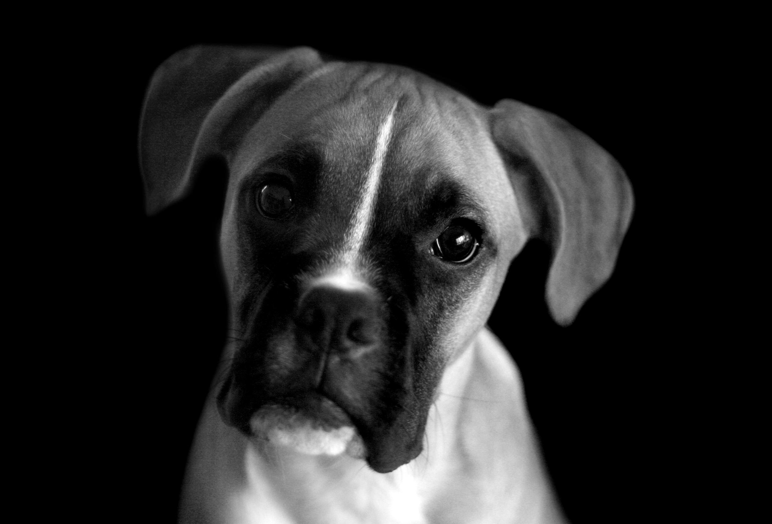 stockvault-portrait-boxer-dog130891.jpg