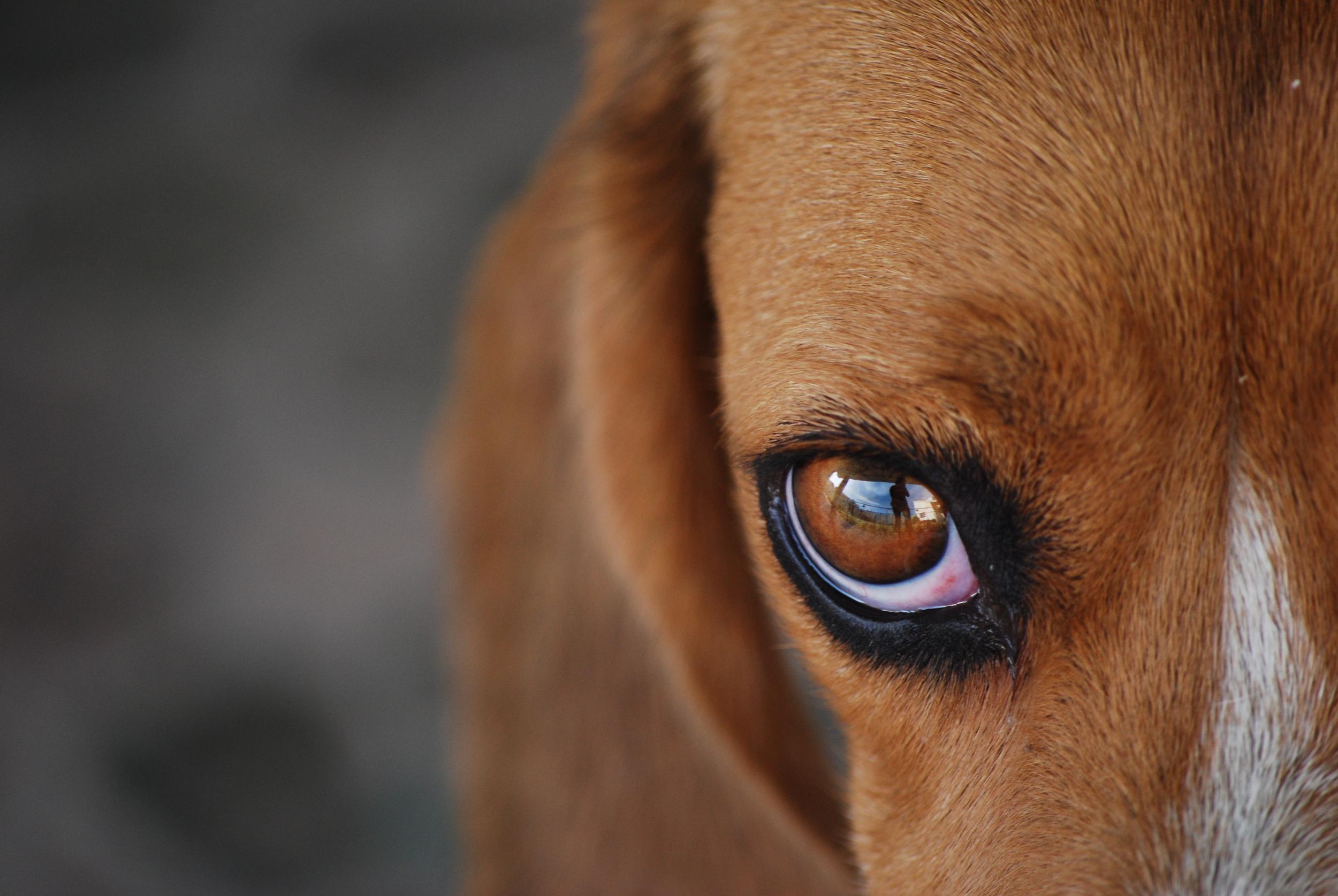 stockvault-beagle106599.jpg