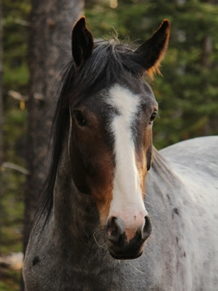 Juno (wild horse captured as a yearling)