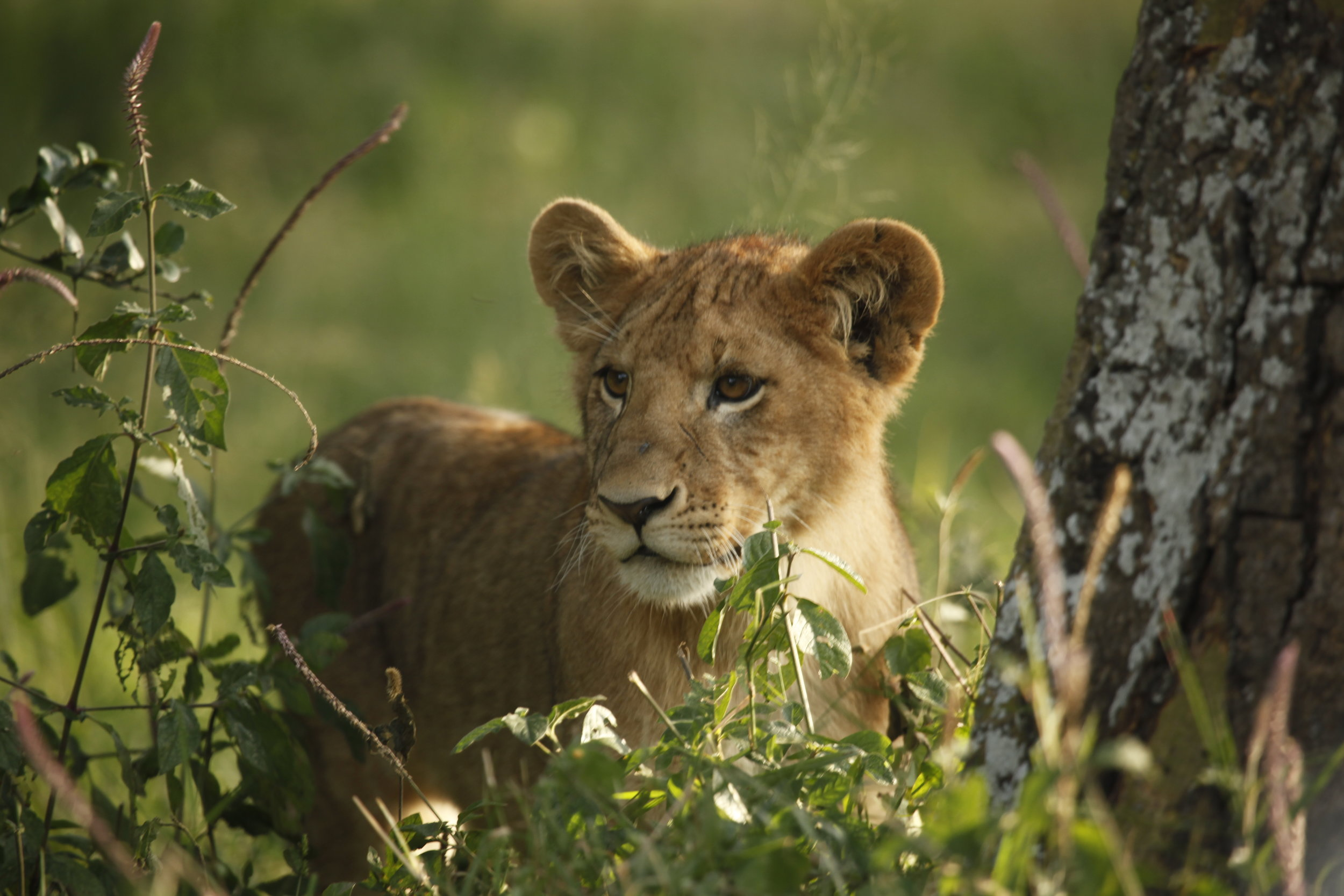 Lion - Mikey.JPG