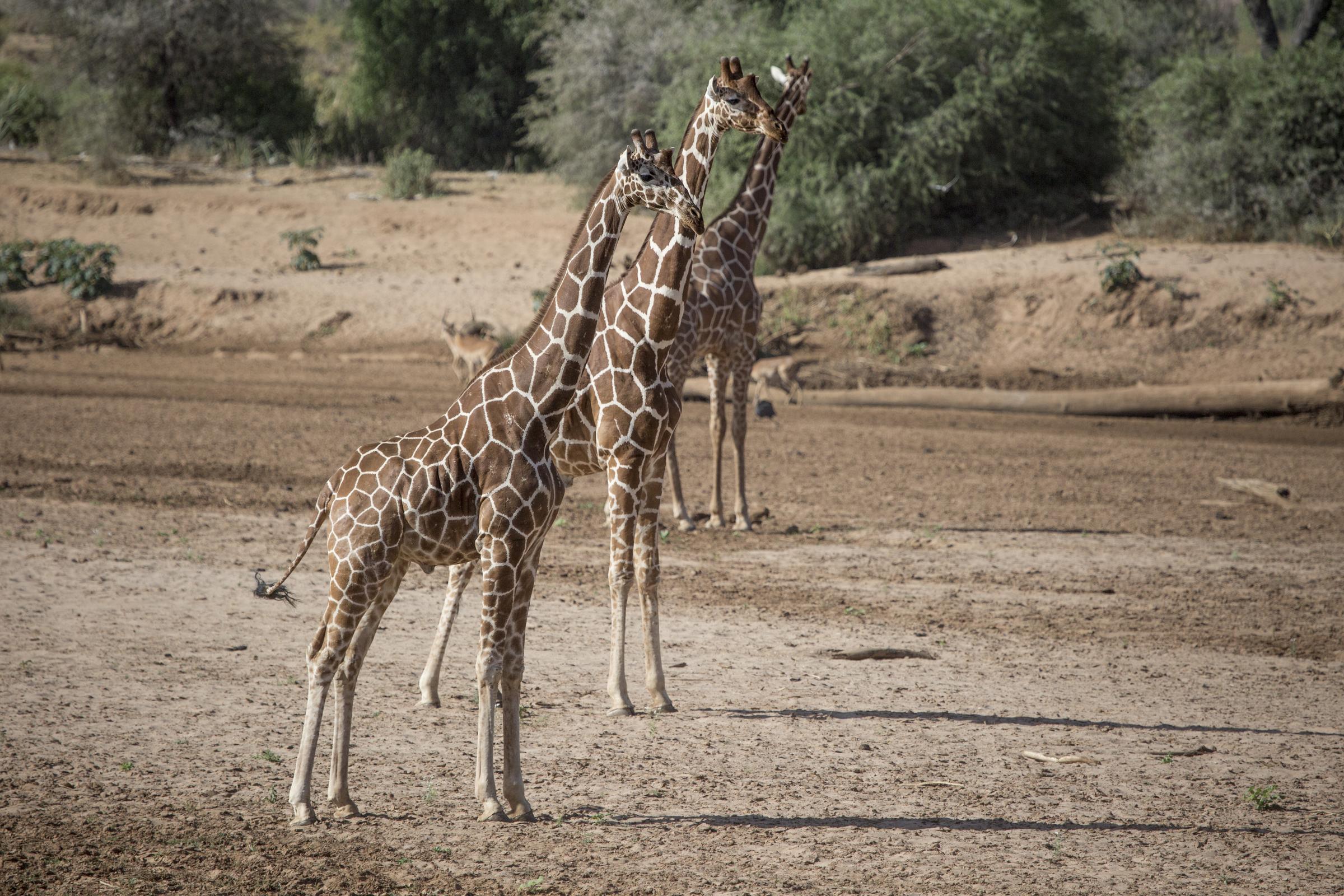 Magestic giraffe.jpg