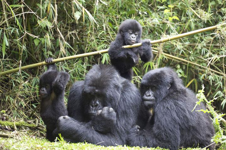 Gorilla family 4.jpg