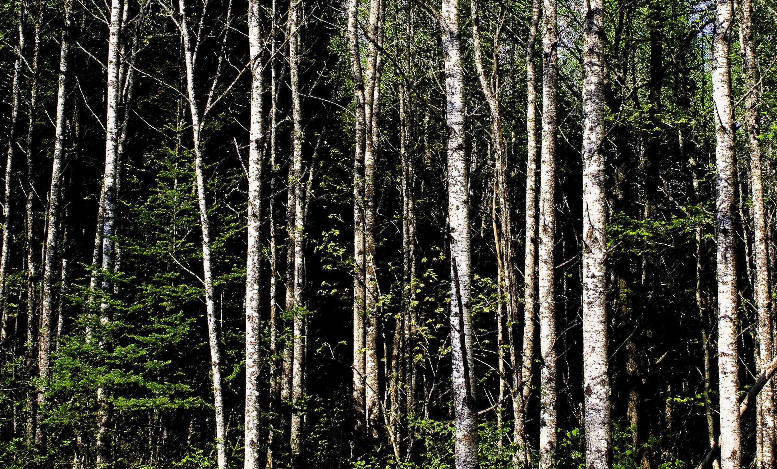 aspentrees6-05-2-cr.jpg