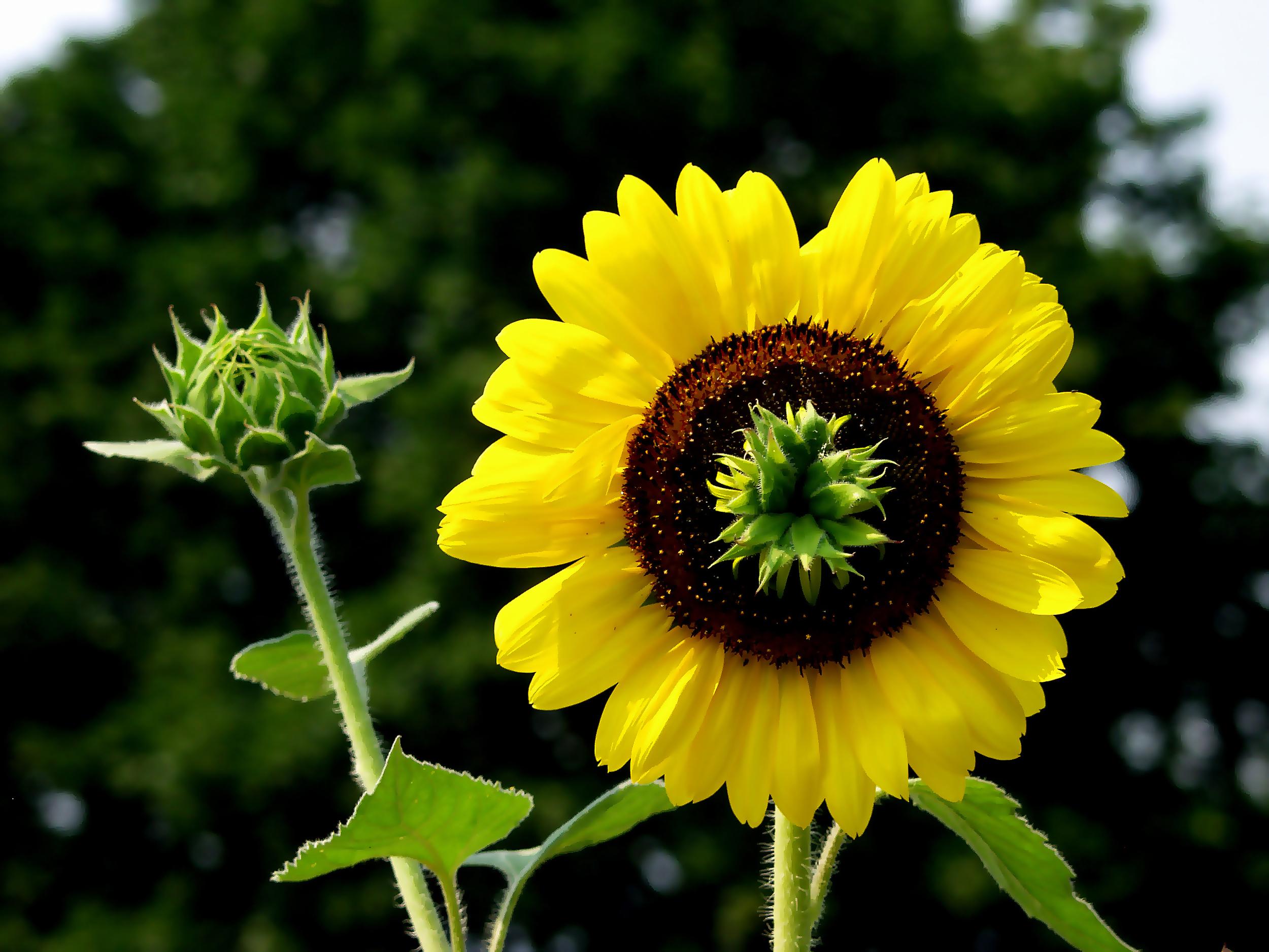 sunflower-04-1.jpg