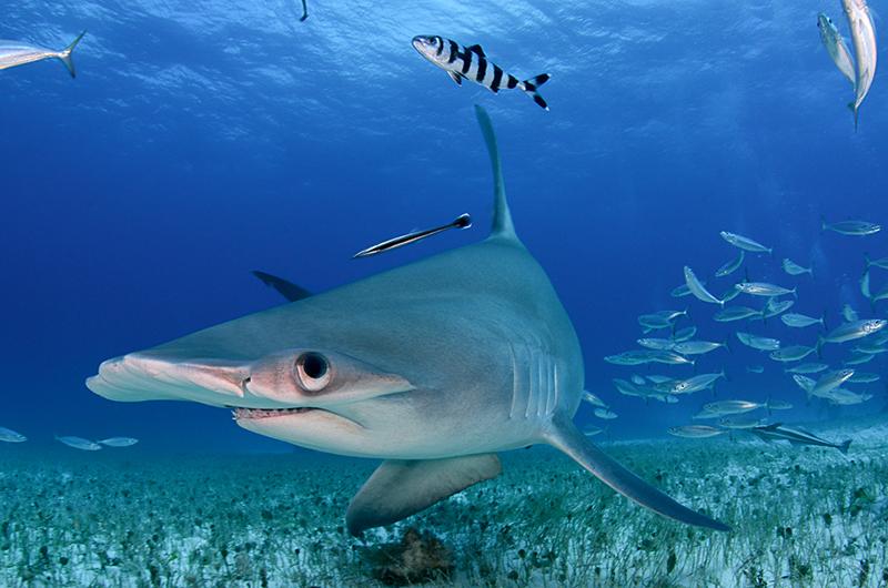 Tiburón martillo, Bahamas