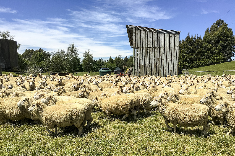 Sheep_4.JPG