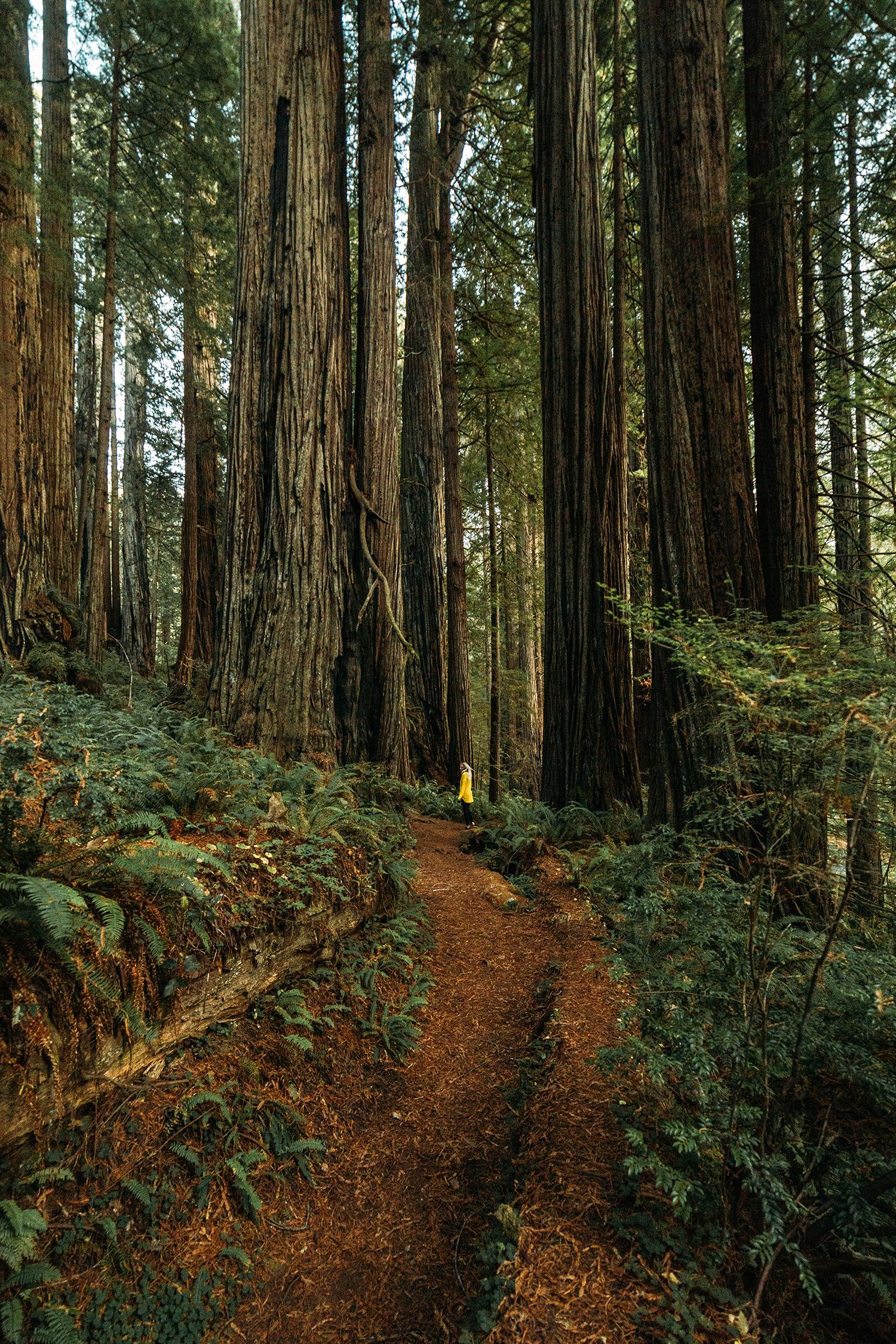 Redwoods 6.jpg