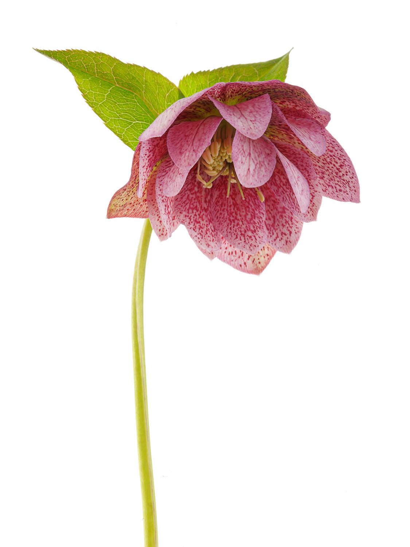 Hellebore Lenten Rose #1