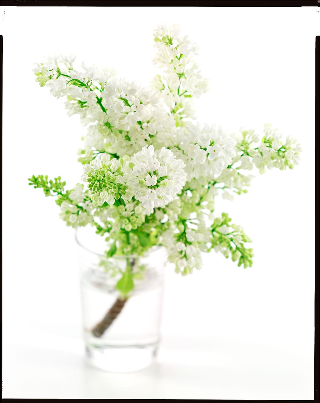 White Lilac #1
