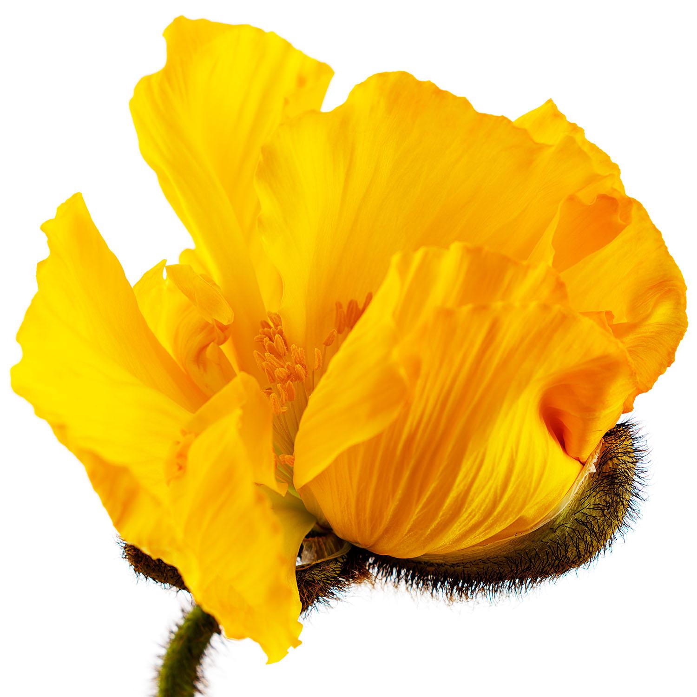 Yellow Poppy #3