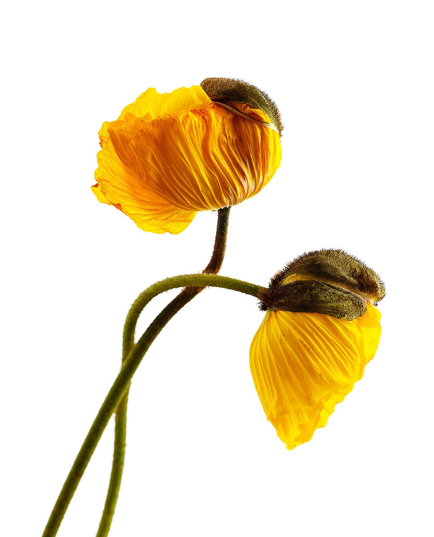 Yellow Poppy #2