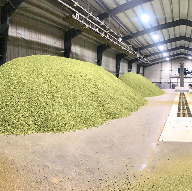 Mountains of future beer. Lots and lots of future beer. 🍺 • • Citra awaiting baling in Moxee • • #hopharvest2019 #citra #ipa #yakimavalley #wegrowyourbeer