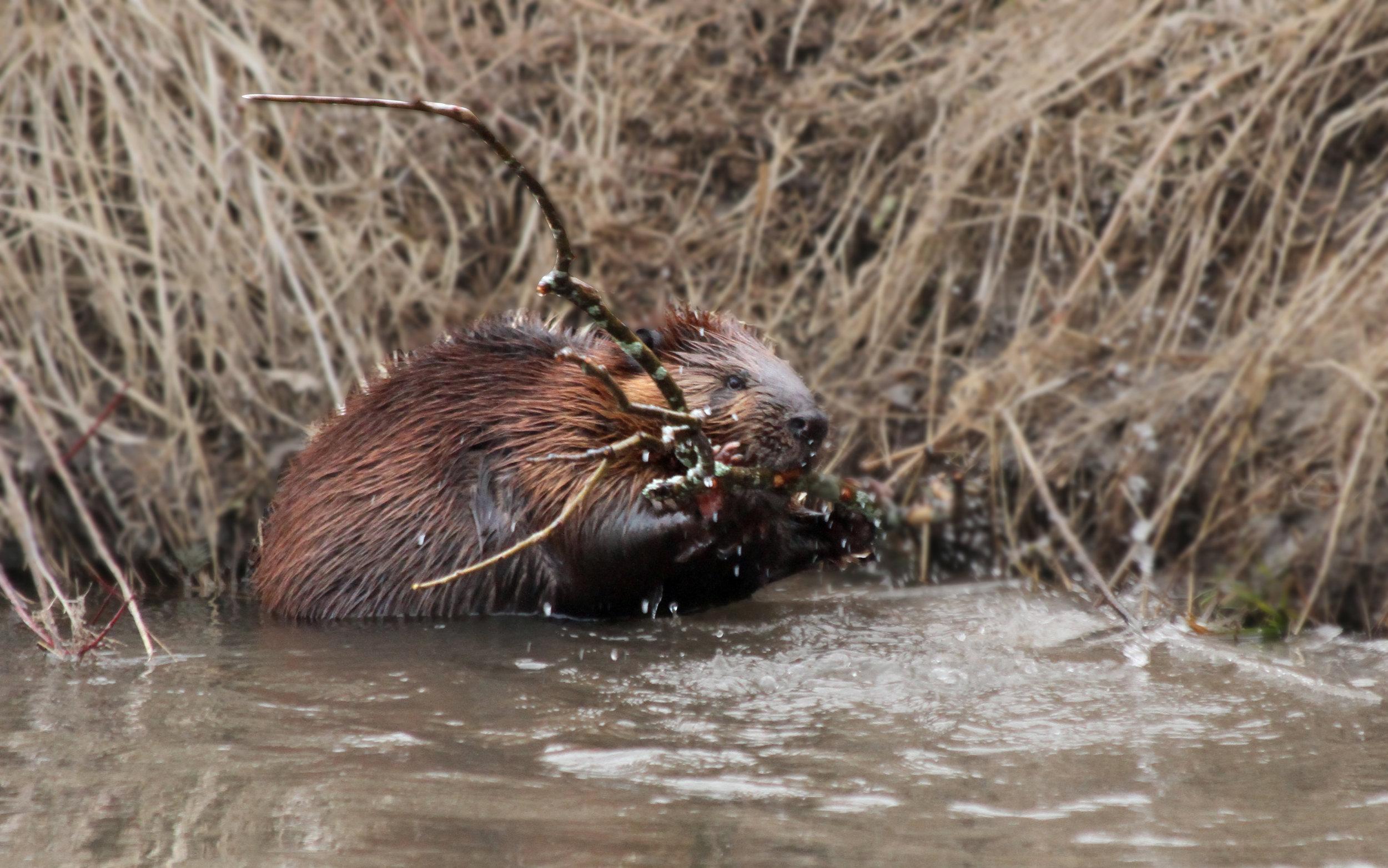 The Beaver.jpg