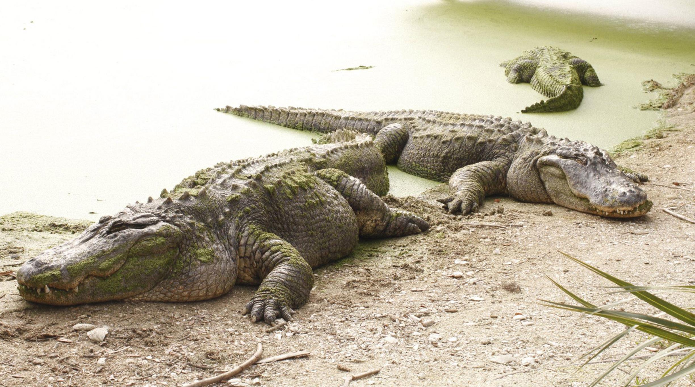 The Gators.jpg