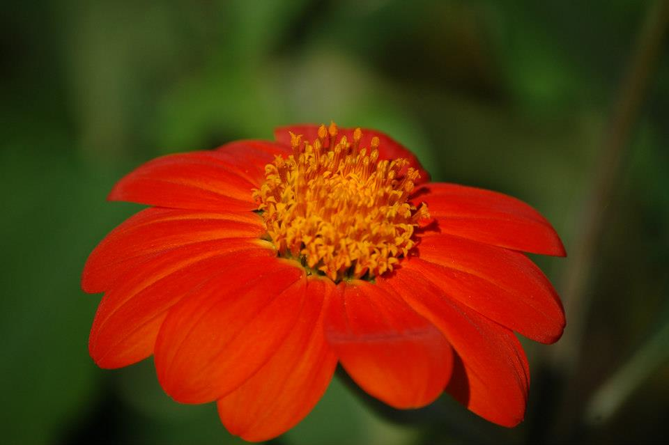 Garden orange flower 01.jpg