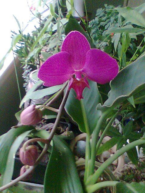 Garden orchid.jpg