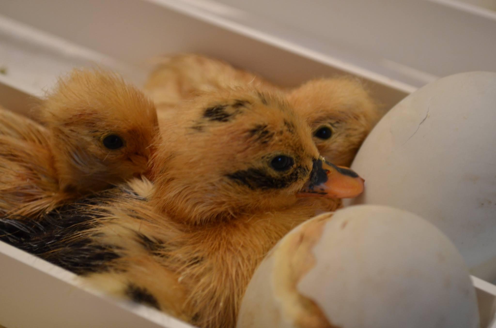 ducks hatch.jpg