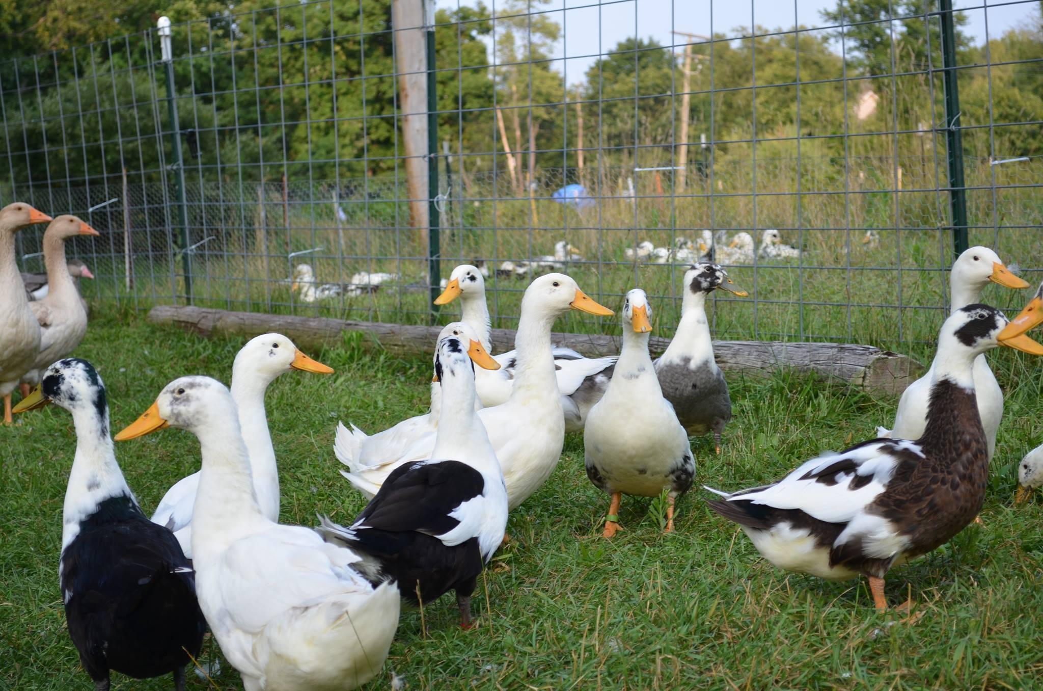 ducks fb.jpg