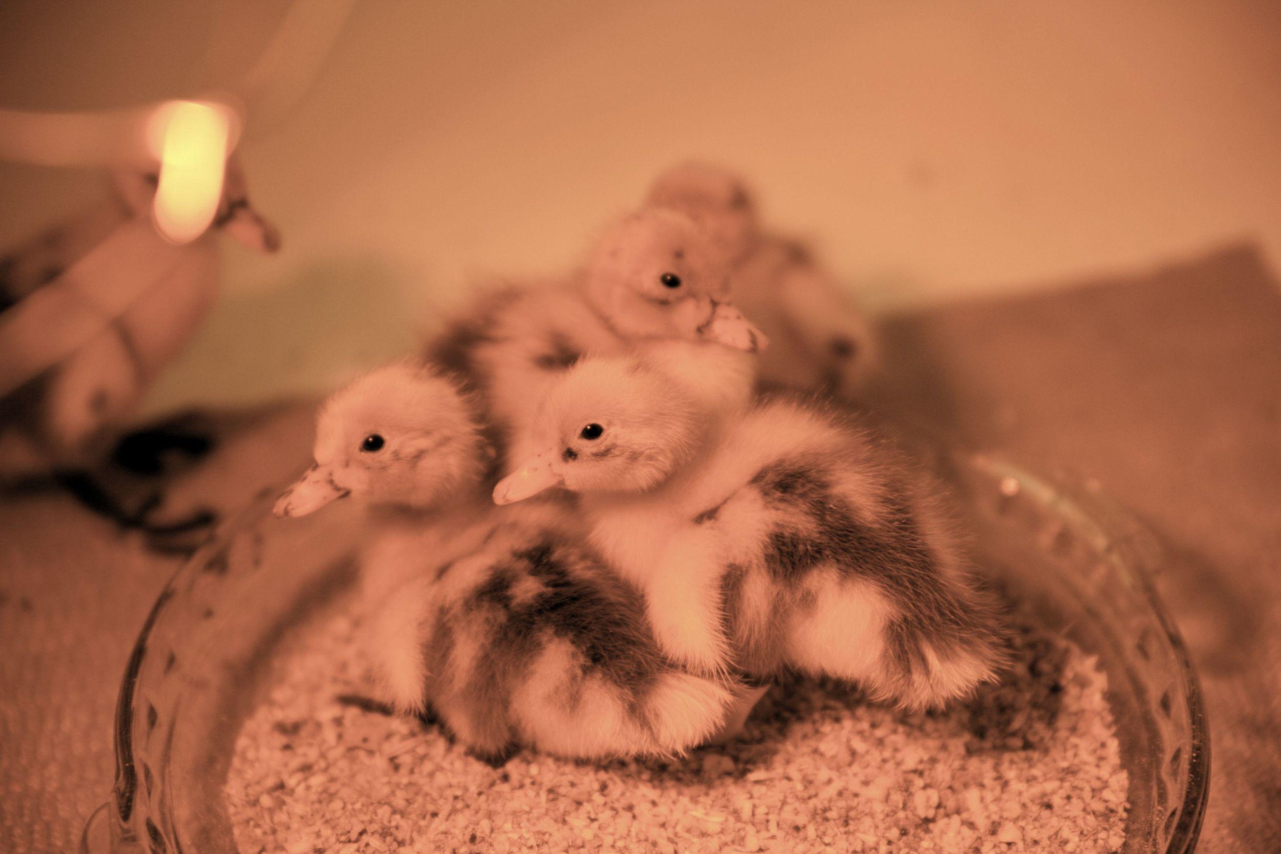 Ducklingdish.jpg