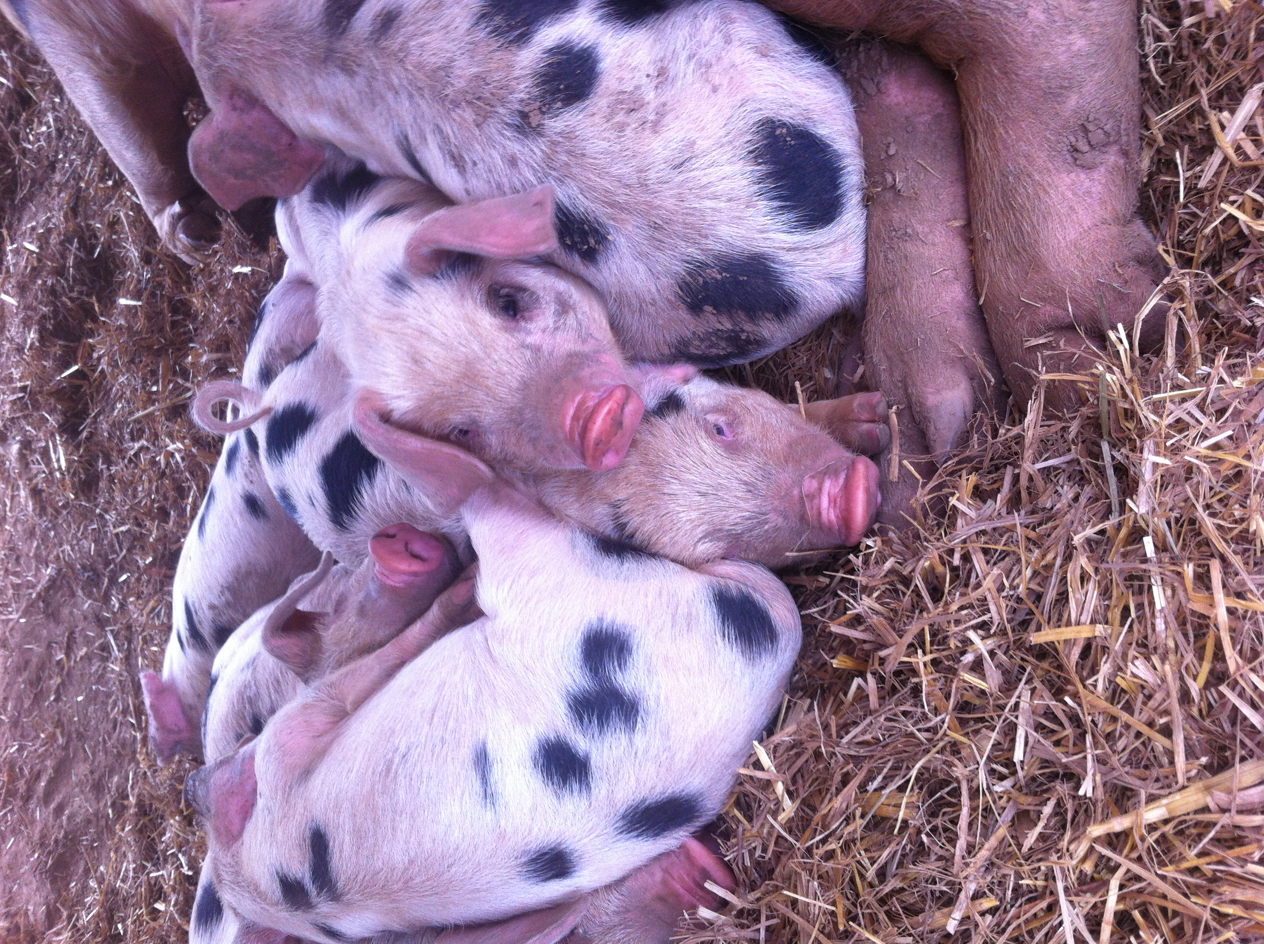 Adorable baby pigs, in case you missed that.