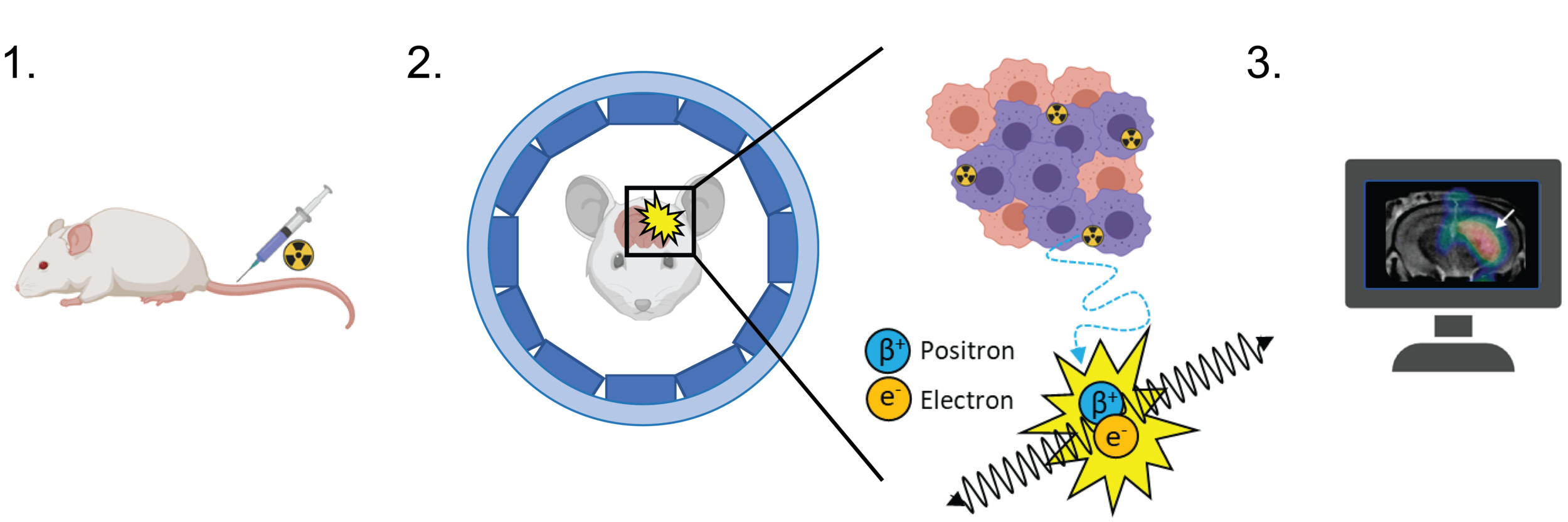Figure 1. Preclinical PET imaging.  Prior to acquiring a PET image, a radiotracer is injected into the subject ( 1 ). Radiotracers are made by attaching a radioactive atom (radionuclide) to a scaffold that targets a biological process of interest. As the unstable radioactive atom decays it emits a positron (the antimatter equivalent of an electron), which travels a shorts distance (~1 mm) before colliding with a near-by electron ( 2 ). Upon collision, these two particles undergo a process called 'annihilation', releasing two gamma rays at ~180 degrees to one another. The detection of these gamma rays by a PET scanner allows for the origin of annihilation to be calculated, subsequently providing the precise location of the radiotracer. Computer processing enables multiple annihilation events to be processed, building a 3D 'map' of radioactivity inside the body – the PET image ( 3 ).