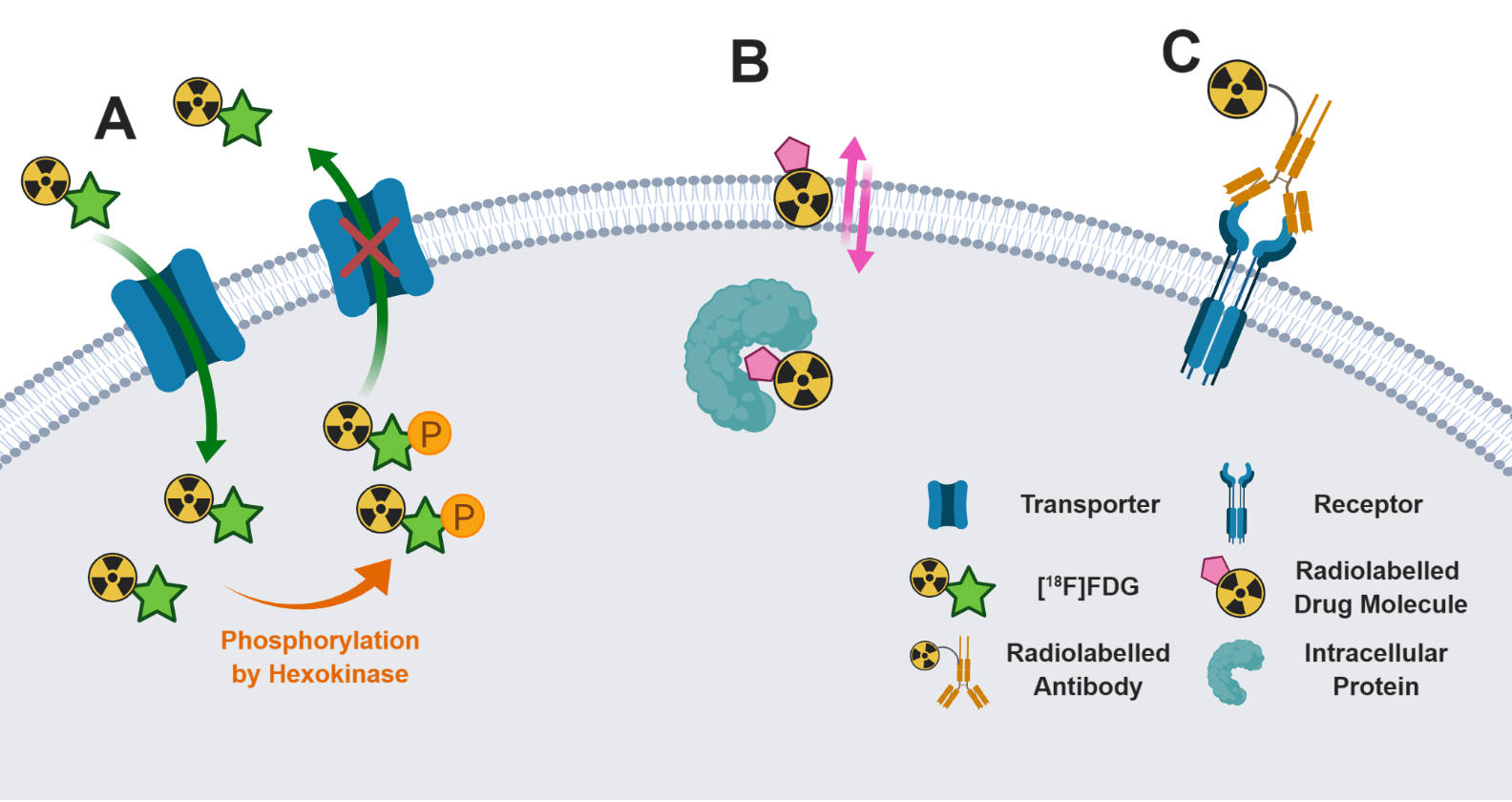 Figure 2. Different radiolabelled scaffolds and their applications.  A) [18F]FDG is transported in to cells where it accumulates due to metabolic trapping subsequent to phosphorylation by hexokinase. B) A radiolabelled drug molecule crosses the cellular membrane and binds to its intracellular protein target. C) Radiolabelled antibodies bind to the extracellular domain of specific receptors.
