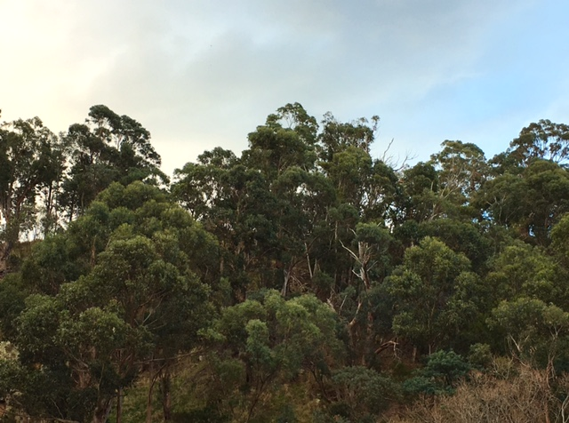 Eucalypts in the suburbs