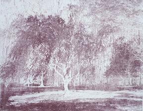 Two Cherry Trees II