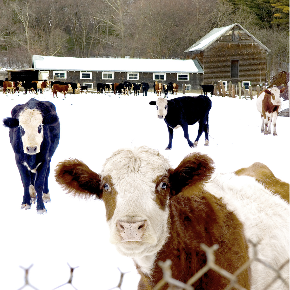 Friendly Cows, Weston MA