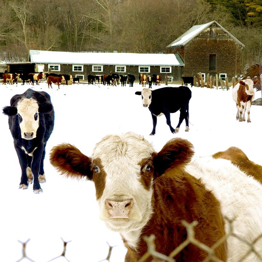 friendy_cows.jpg