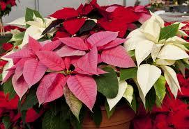 Christmas Poinsettia Order -