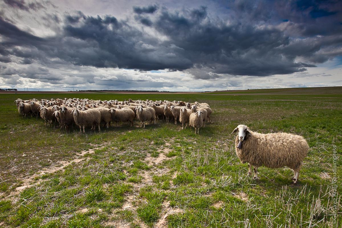 """"""" Yo soy el buen Pastor: conozco a mis ovejas, y mis ovejas me conocen a mí""""Juan 10, 14 - Rebaño de Ovejas. Ávila, España - Foto: Gustavo Kralj/Gaudiumpress"""