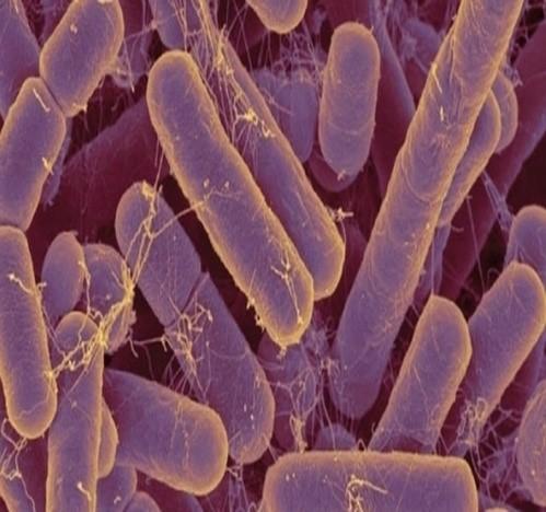 Figure 2: Gut microbiota inside the intestine.