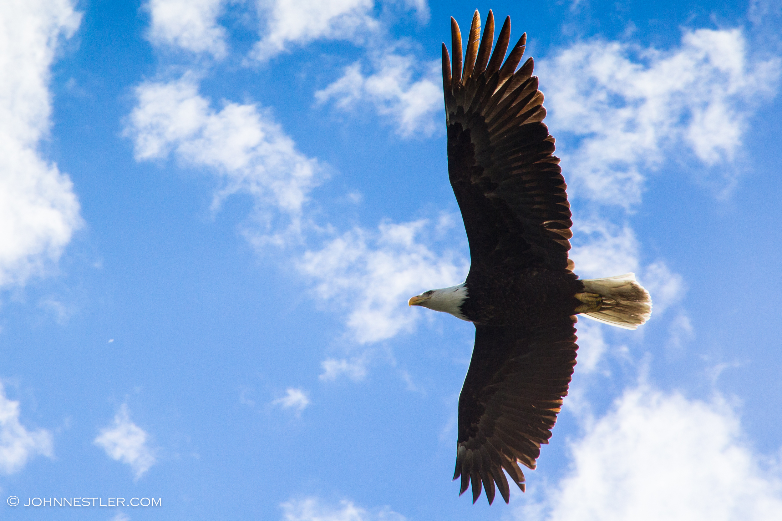 Bald Eagle Tatshenshini