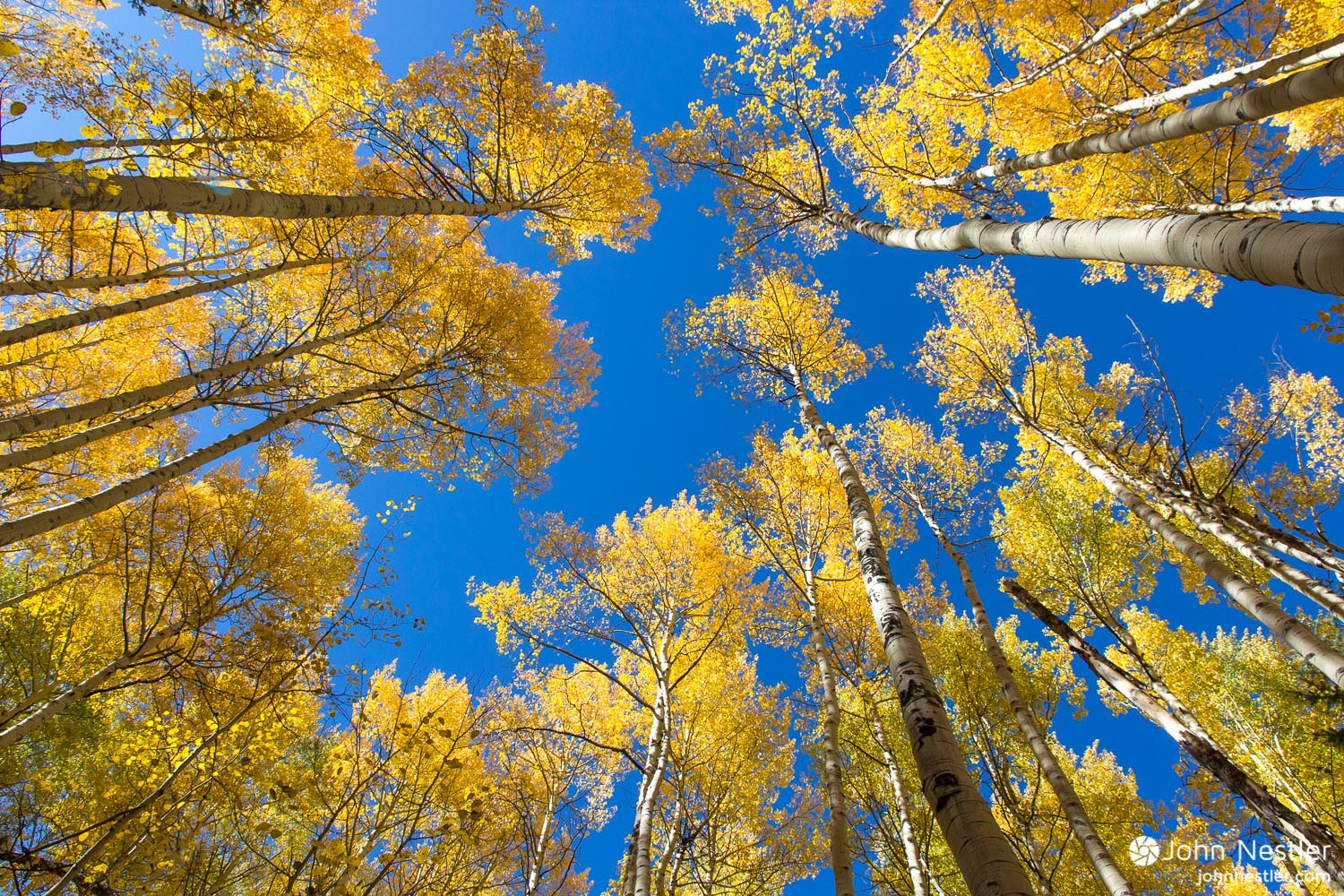 The blazing yellow of Aspen as their prime contrasts beautifully with bluebird skies. Shot near  Twin Lakes, CO  in Segment 11.