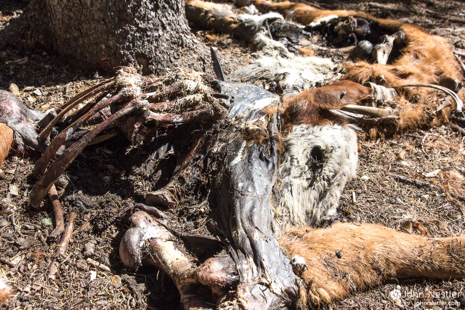 A stark reminder that nature is always a cycle of life and death. Here the remains of a calf lay across the trail shortly before reaching Sargents Mesa in Segment 16.