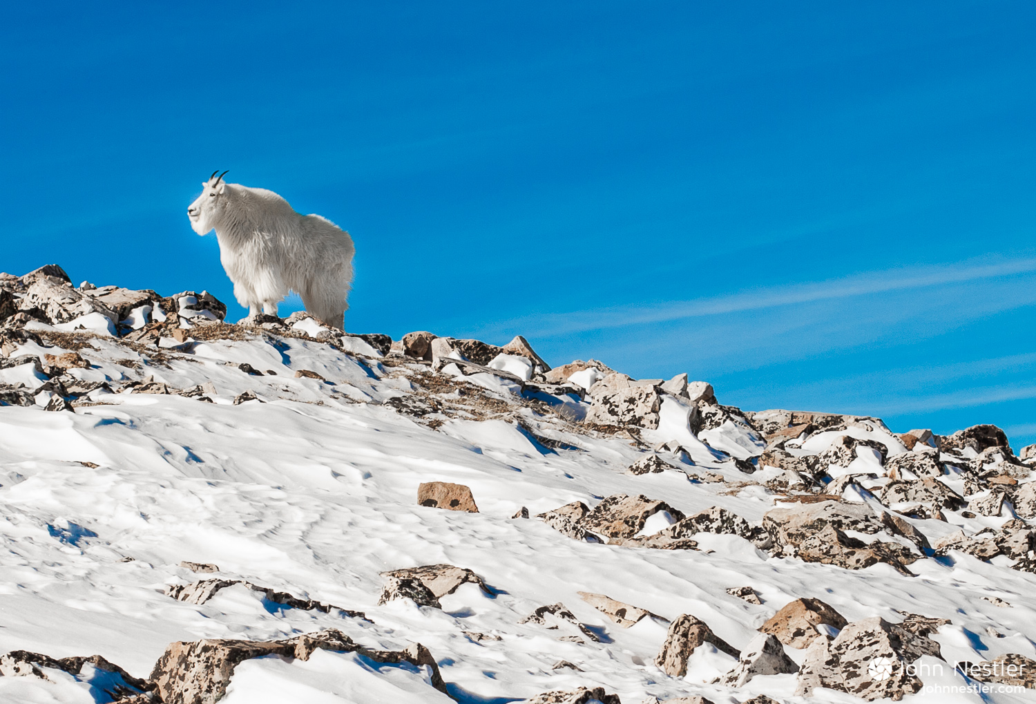 mountain goat mount quandary colorado winter