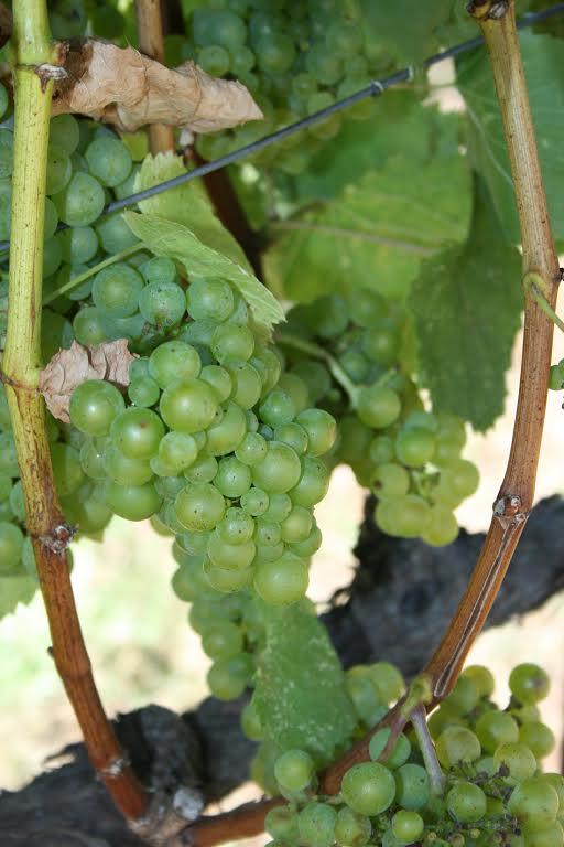 Teac Mor Chardonnay Grapes | VAULT29