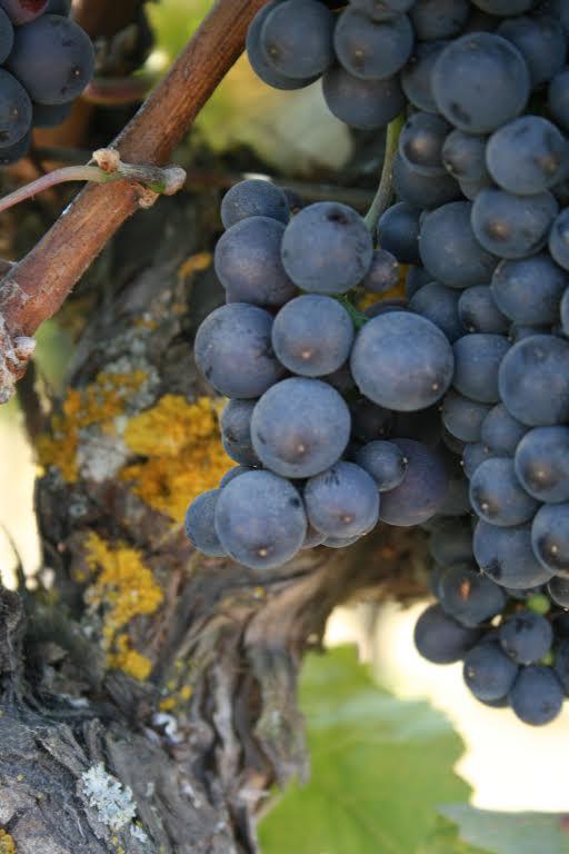 Teac Mor grapes2.jpg
