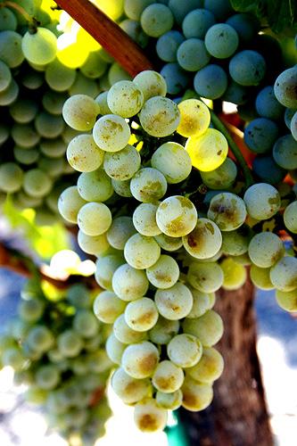 Semillon grapes.jpg
