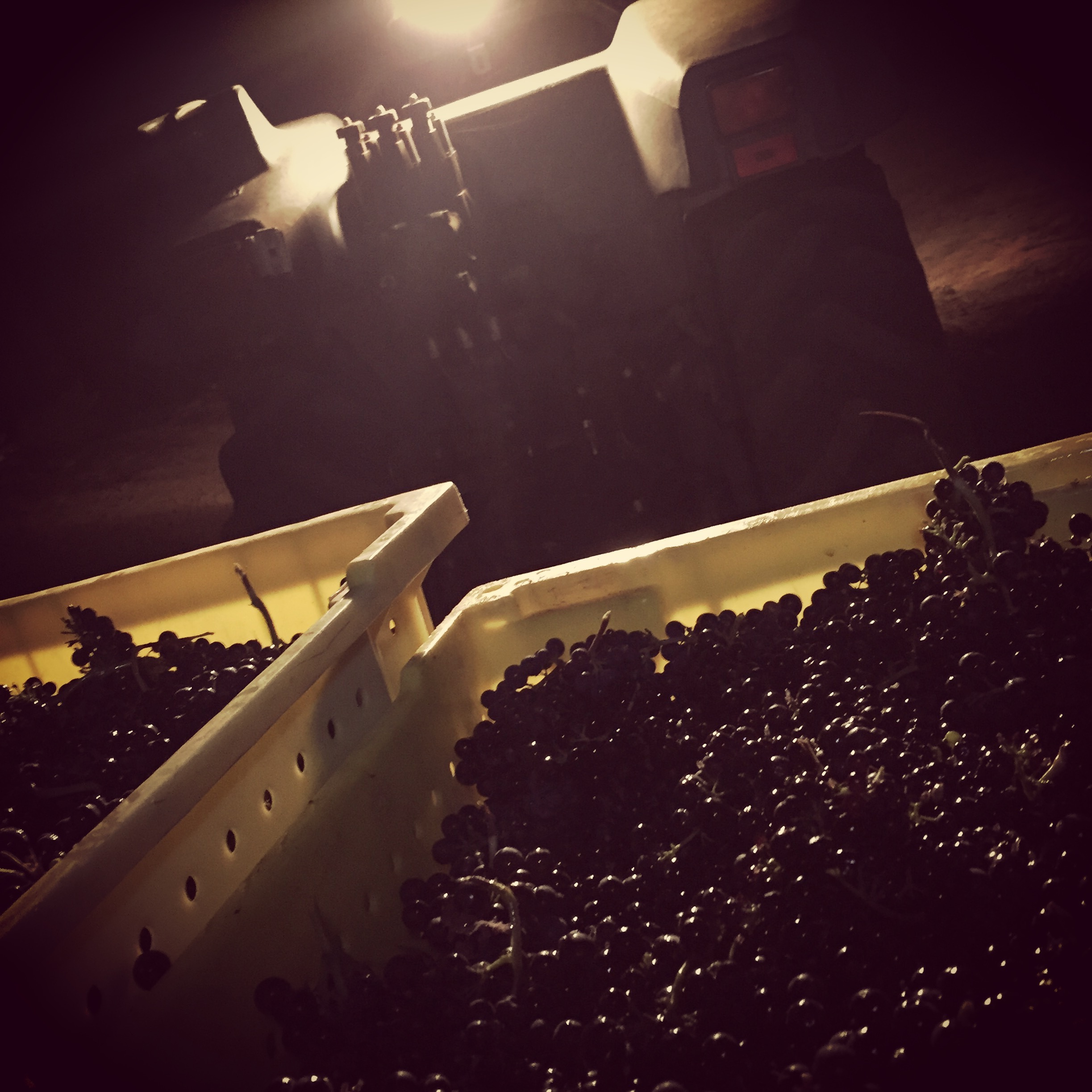 "First Pinot off the vines this seaaon. 4 am ""pisca"" at Doña Margarita Vineyard, Freestone CA."