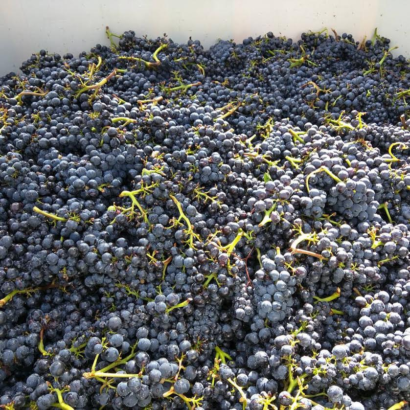 Pinot grapes picked at Hallberg Ranch (Sonoma County; Russian River Valley) are ready for the sorting table
