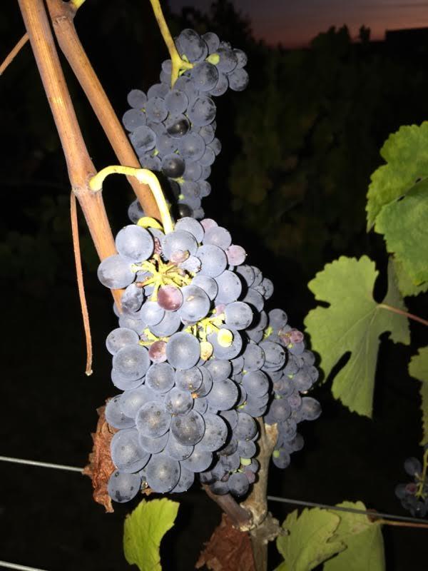 Syrah grapes are looking good - 22 brix!